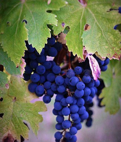 vigne-galineau-vin-bordeaux-superieur-rouge-3