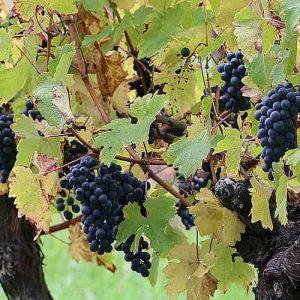 gros plan raisin vignoble Galineau propriétaire récoltant bordeaux supérieur rouge